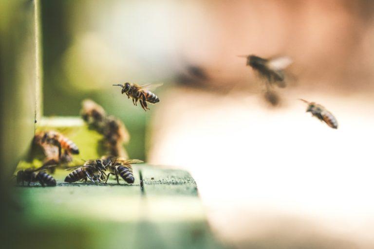 ciekawostki o pszczołach