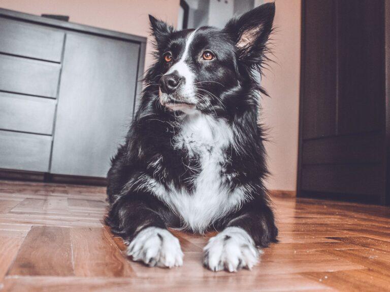 pies z padaczką